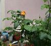 Jolie rose 🌹  rencontrée ce matin sous la pluie ☔ dans un jardin particulier Belle journée. Vers 1 h du matin grand vent orage pluie et grêle