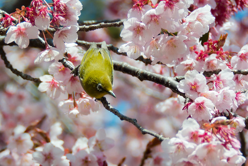 2012 White-eye and Cherry blossoms 12