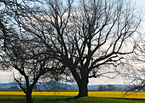 03-23-12 Big Trees and More Daffodils by roswellsgirl