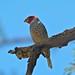 Small photo of Red-headed Finch (Amadina erythrocephala)
