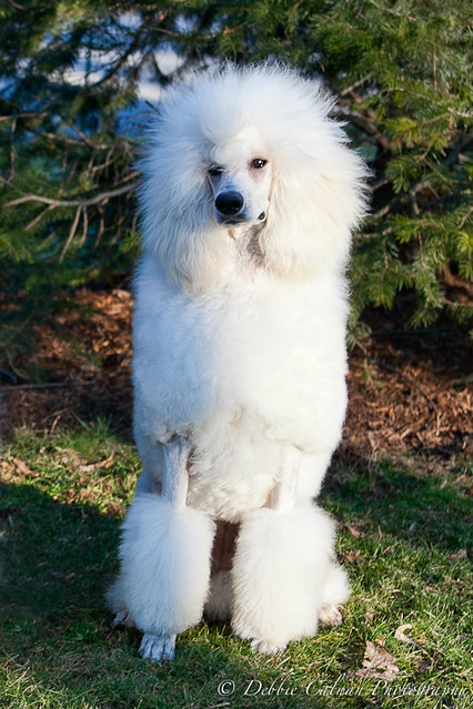White Standard Poodle ...