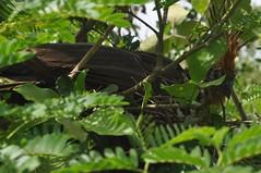 Ocell de la regió