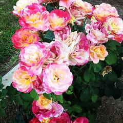 floristry(0.0), rosa wichuraiana(1.0), annual plant(1.0), shrub(1.0), garden roses(1.0), rosa 㗠centifolia(1.0), floribunda(1.0), flower(1.0), plant(1.0), petal(1.0),