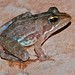 Small photo of Common River Frog (Amietia angolensis)