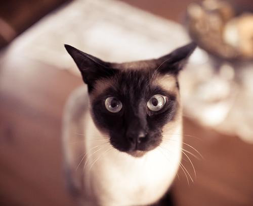 無料写真素材, 動物 , 猫・ネコ, シャム ネコ