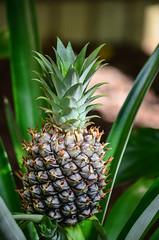 Mini Pineapple @ US Botanical Gardens