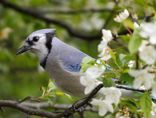 ngc bluejay cyanocittacristata treeblossoms treeblossomproject