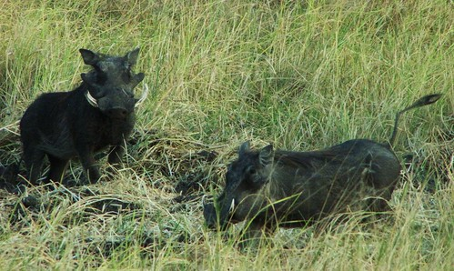 Warthogs - 2 by CharlesRay2010