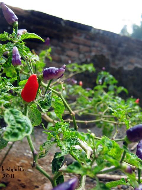 purple peper 2011