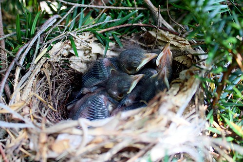 Gray Catbird Hatchlings