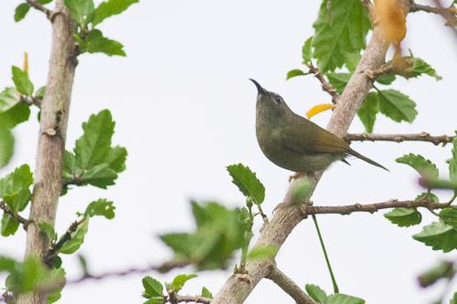 female Black-throated Sunbird