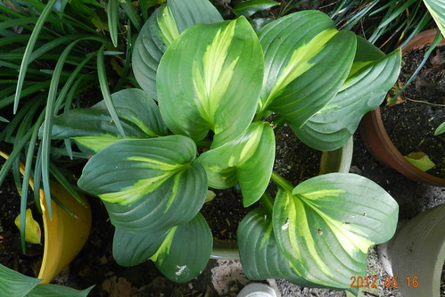 Hosta 'Emerald Charger'