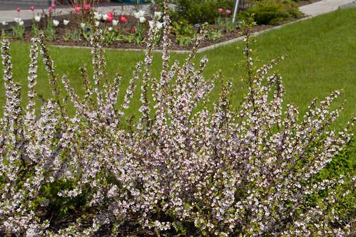 Viltkirss / Nanking cherry / Prunus tomentosa thunb