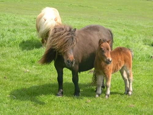 Shetland with foal