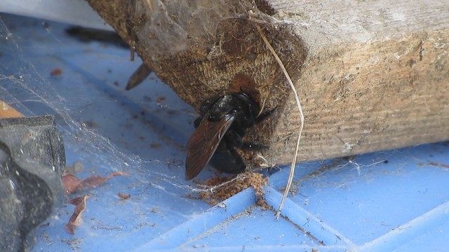 MVI_4711 carpenter bee digging out wood from 2x4
