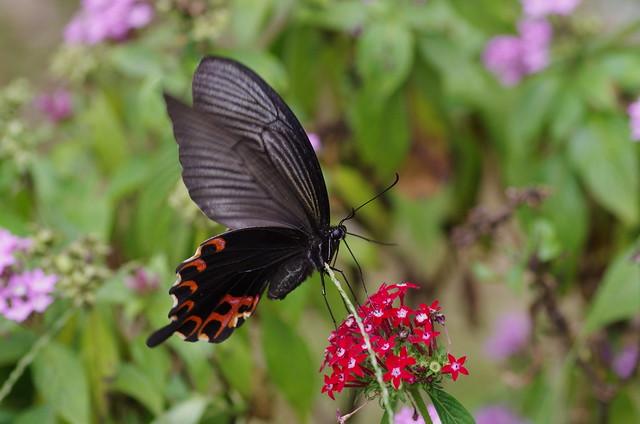 Papilio protenor sitalkes