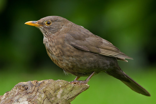 IMG_6075 Female Blackbird
