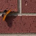 Butterfly on Brick by dbkfrog