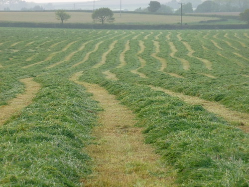 Rows of cut grass