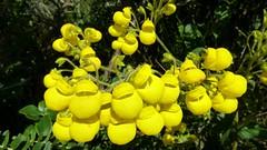 Calceolariaceae of Ecuador