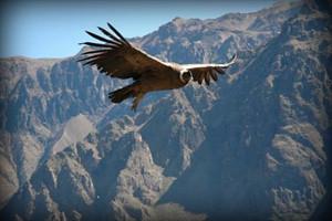 vuelo-del-condor-canion-del-colca-arequipa