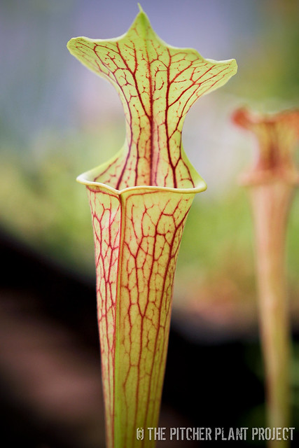 Sarracenia 'Black Widow' x flava var. rubricorpora