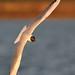 Black-headed Gull,  Elton 27th May 2012 CR 2012 A.Dancy 186a