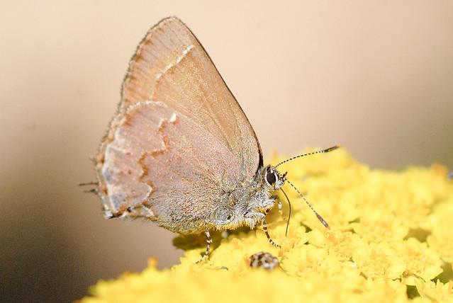 Header of Callophrys gryneus