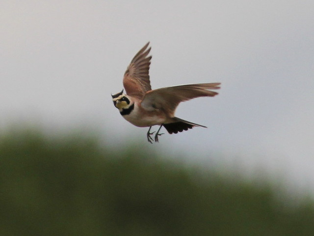 Horned Lark hovering 8-20120601