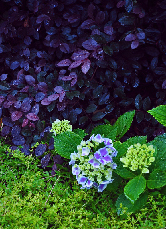 Hydrangea macrophylla 'Frau Kinue' (Angel Robe) (2)