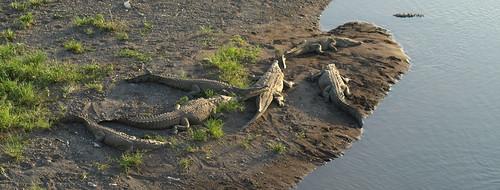 American Crocodile (Crocodylus acutus) Cocodrilo