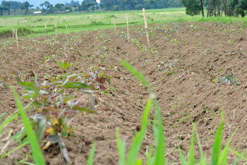 Sweet potato field trials at high altitude at the Kinigi station 15kms away from Musanze District