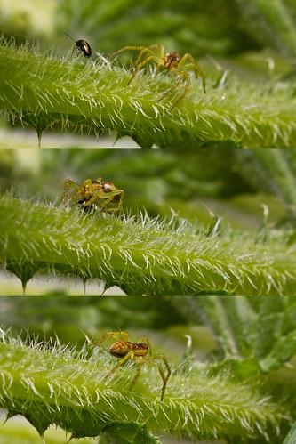 spider leaf beetle attack crab prey hunt chrysomelidae hämähäkki thomisidae kovakuoriainen hyökkäys