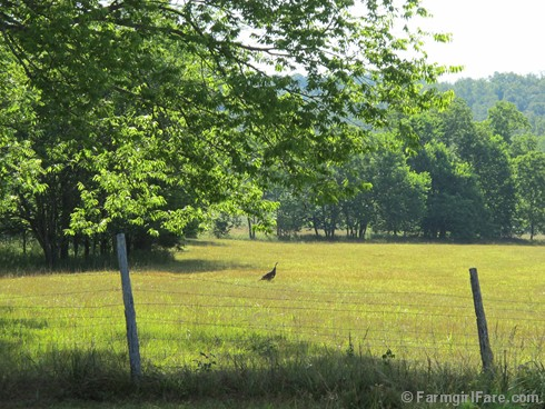 (17) Wild turkey in the hayfield - FarmgirlFare.com
