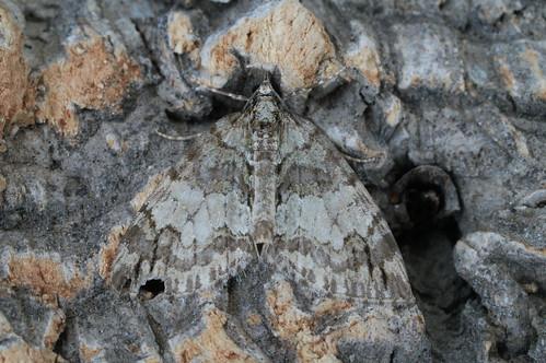May Highflyer (Hydriomena impluviata)