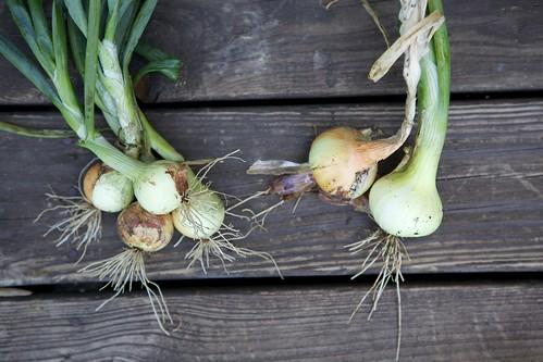 Forum Onions in the Garden