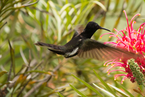 Beija-Flor - hummingbird - Trochilus