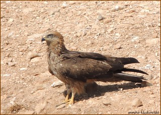 דיה שחורה / Black Kite  / Milvus migrans
