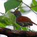 Chestnut-backed Antshrike, REGUA, Brazil