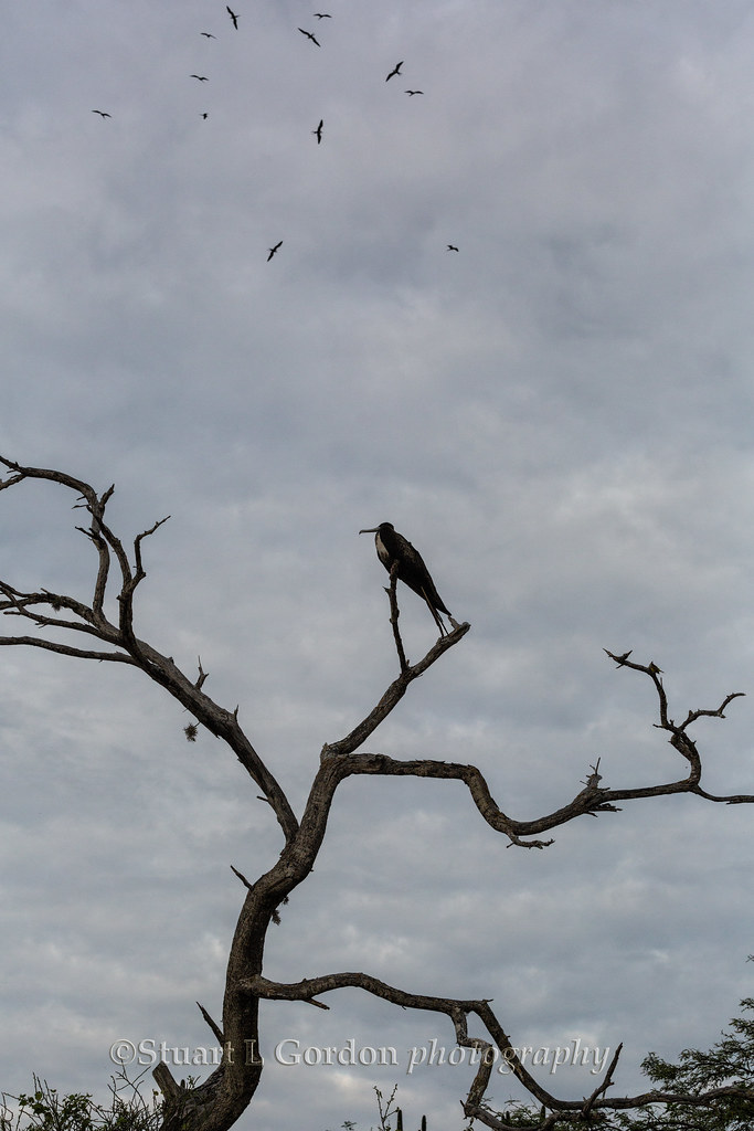 Frigate bird, San Cristobal Island, Galapagos Archipelago, Ecuador