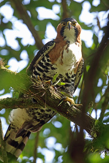 Ornate Hawk-Eagle, Quetzal Camp, Chiapas, Mexico