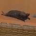 Egyptian free-tailed bat - Photo (c) Bernard DUPONT, some rights reserved (CC BY-NC-SA)