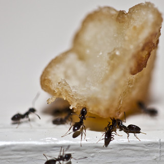 Ants trying to move a piece of a french fry