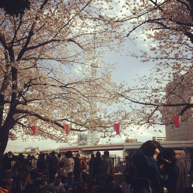 Cherry blossoms with skytree tower