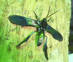 Macrocneme chrysitis ? Southern Cyan Tiger Moth?