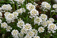 iberis sempervirens, flower, candytuft, herb,