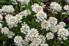 yarrow(0.0), marguerite daisy(0.0), chamaemelum nobile(0.0), tanacetum parthenium(0.0), iberis sempervirens(1.0), flower(1.0), candytuft(1.0), herb(1.0),