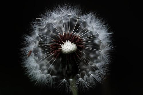 無料写真素材, 花・植物, タンポポ, 種子