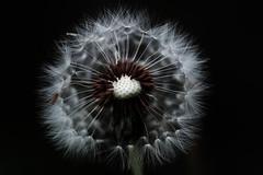 [フリー画像素材] 花・植物, タンポポ, 種子 ID:201205030600