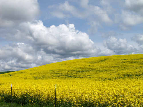 Canola in full bloom by campviola